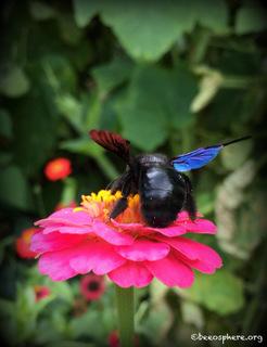 Eine Holzbiene besucht eine Zinnie