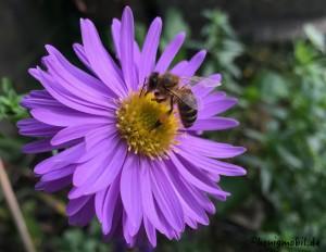 Honigbiene_Herbstaster