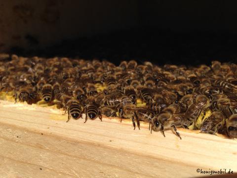 Bienenbesetzte Wabe - Naturwabenbau