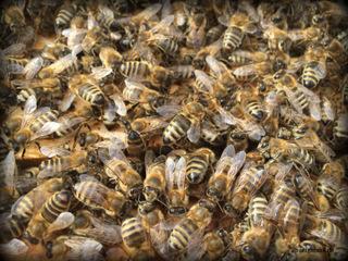 Ein Blick in ein Volk -es wuselt und duftet nach Honig.
