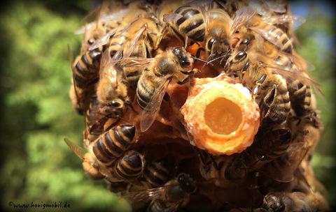 Königinnenlarve schwimmt in Gelee Royal und wird von ihren Schwestern versorgt