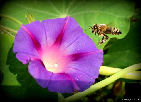 Eine pollenbestäubte Honigbiene unterwegs Richtung Prunkwinde.