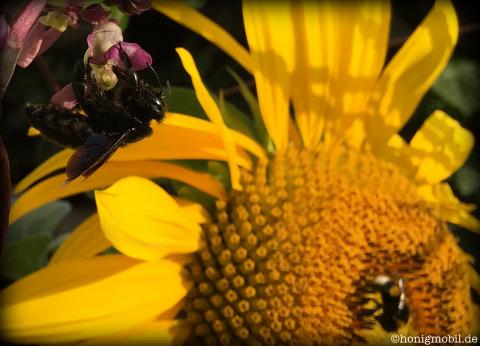 Holzbiene und Blüte der Stangenbohne.