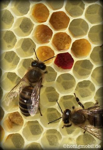 Buntes Pollenlager im Naturwabenbau.