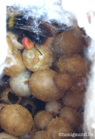 Eine Steinhummel (Bombus lapidarius) bringt Pollen nach Hause.