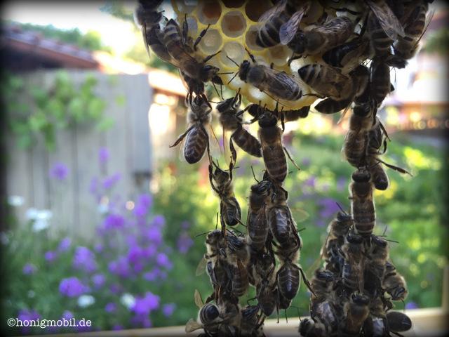 Ein lebendes Lot - eine Bienenkette -an der entlang Richtung Erdanziehung gebaut wird.